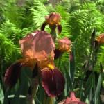 Квіти Півники