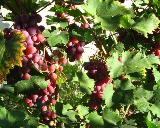 Виноград Вікторія